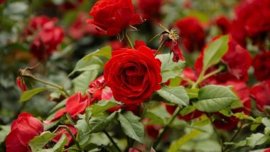 roseww